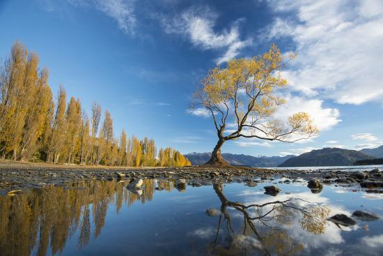 A Lone Cottonwood Tree on Stands on the Bank of Lake Wanaka-Michael Melford-Photographic Print