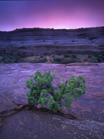A Lone Juniper Grows Out of Sandstone in the Foreground of a Colorful Sunset-Keith Ladzinski-Photographic Print