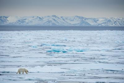 A Lone Polar Bear Traverses the Pack Ice on Hinlopen Strait-Michael Melford-Photographic Print