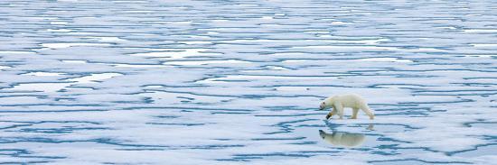 A Lone Polar Bear Walks Along Ice on the Arctic Ocean-Ralph Lee Hopkins-Photographic Print