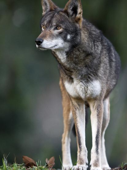 A Lone Red Wolf Looking Away from Camera.-Karine Aigner-Photographic Print