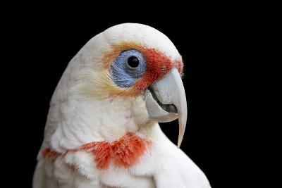 A Long Billed Corella, Cacatua Tenuirostris, at the Healesville Sanctuary-Joel Sartore-Photographic Print