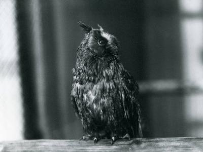 A Long-Eared Owl at London Zoo, January 1922-Frederick William Bond-Photographic Print