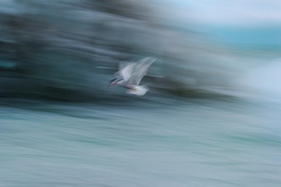 A Long Exposure of an Arctic Tern Flying over Glacier Bay in Iceland-Keith Ladzinski-Photographic Print