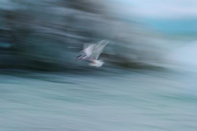 https://imgc.artprintimages.com/img/print/a-long-exposure-of-an-arctic-tern-flying-over-glacier-bay-in-iceland_u-l-q12ws030.jpg?p=0