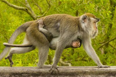 A Long-Tailed or Crab-Eating Macaque, Macaca Fascicularis, Carrying Her Baby on Her Chest-Ralph Lee Hopkins-Photographic Print