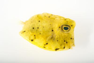 A Longhorn Cowfish, Lactoria Cornuta, at Pure Aquariums-Joel Sartore-Photographic Print