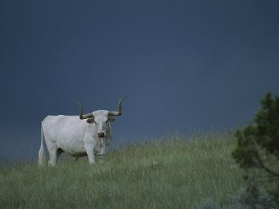A Longhorn Steer, Part of a Small Herd Roaming Park Grasslands-Michael Melford-Photographic Print