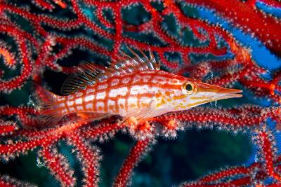 A Longnose Hawkfish in Gorgonian Coral on Ann Sophie's Reef in Kimbe Bay-David Doubilet-Photographic Print