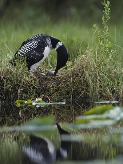 A Loon Raises Itself to Turn its Eggs with its Beak While Incubating-Michael S^ Quinton-Photographic Print
