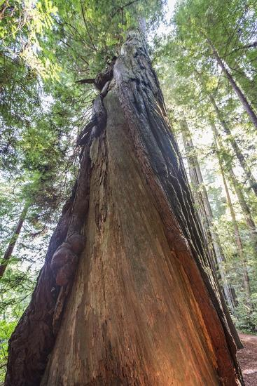 A Low-Angle View of a Giant Redwood Tree-Macduff Everton-Photographic Print