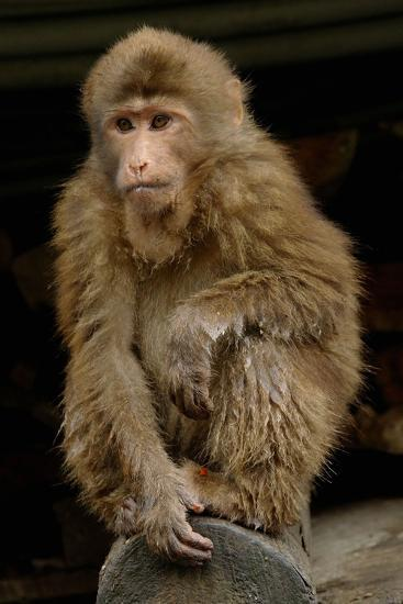 A Macaque, in Emeishan National Park-Tyrone Turner-Photographic Print