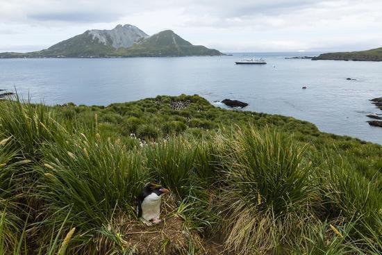 A Macaroni Penguin in Tussock Grass Near Cooper Bay, South Georgia, Antarctica-Ralph Lee Hopkins-Photographic Print