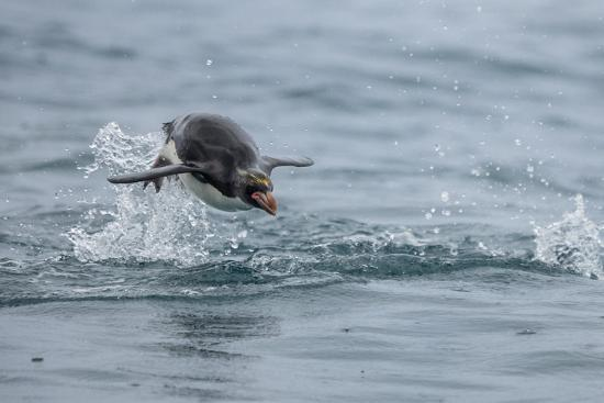 A Macaroni Penguin Porpoises, or Leaps, from the Water-Jay Dickman-Photographic Print