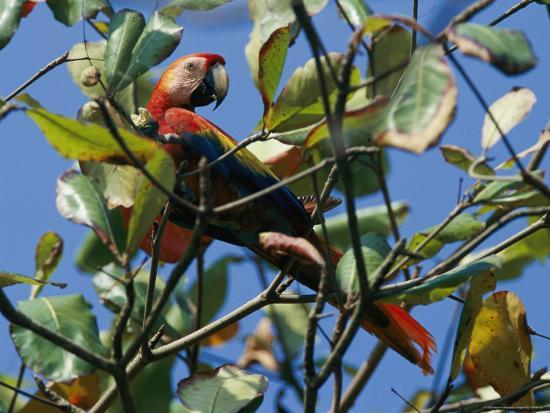A Macaw Perches in a Tree-Steve Winter-Photographic Print