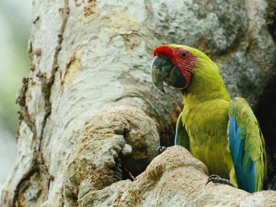 A Macaw Sits in a Tree-Steve Winter-Photographic Print