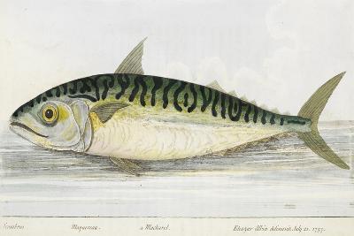 A Mackerel-E. Albin-Giclee Print