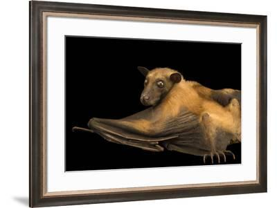 A Madagascan rousette, Rousettus madagascariensis, in Madagascar.-Joel Sartore-Framed Photographic Print