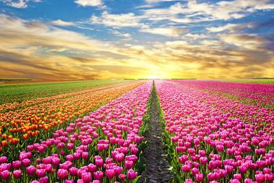 https://imgc.artprintimages.com/img/print/a-magical-landscape-with-sunrise-over-tulip-field-in-the-netherlands_u-l-q1a2bd50.jpg?p=0