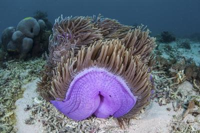 A Magnificent Sea Anemone Grows in Komodo National Park-Stocktrek Images-Photographic Print