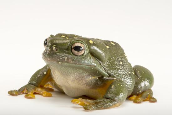 A Magnificent Tree Frog, Litoria Splendida, at the Wild Life Sydney Zoo-Joel Sartore-Photographic Print