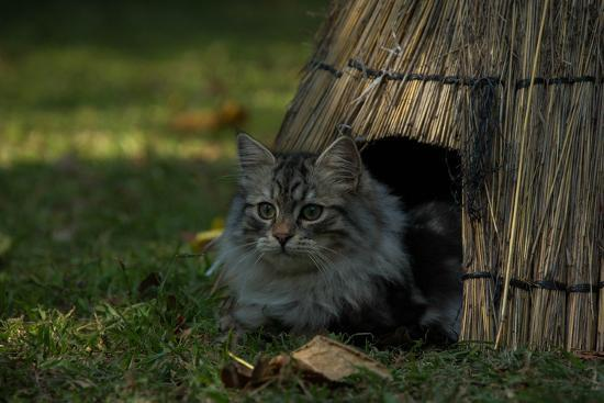 A Maine Coon Cat, Felis Catus, Sits At The Entrance Of An Outdoor Straw Shelter-Beverly Joubert-Photographic Print