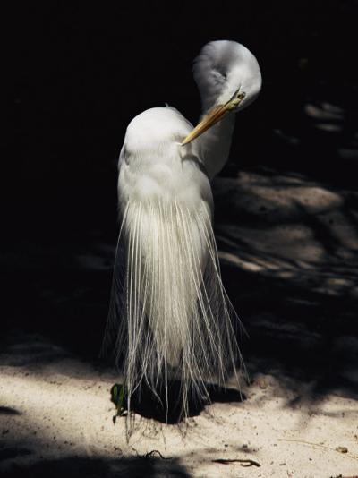 A Majestic Great Egret Cranes its Neck to Pluck at its Feathers-Stephen St^ John-Photographic Print