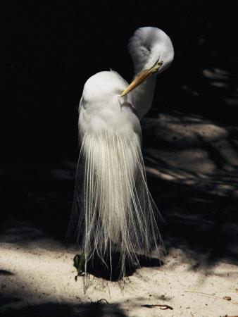 https://imgc.artprintimages.com/img/print/a-majestic-great-egret-cranes-its-neck-to-pluck-at-its-feathers_u-l-p4t5ke0.jpg?p=0