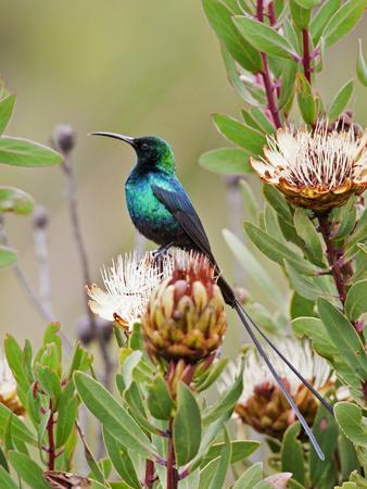 https://imgc.artprintimages.com/img/print/a-malachite-sunbird-on-a-protea-flower-at-9-750-feet-on-the-moorlands-of-mount-kenya_u-l-pfxrnx0.jpg?p=0