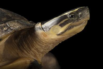 A Malayan Box Turtle, Cuora Amboinensis-Joel Sartore-Photographic Print