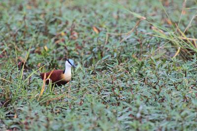A Male African Jacana, Actophilornis Africana, Hunting in Vegetation-Joe Petersburger-Photographic Print
