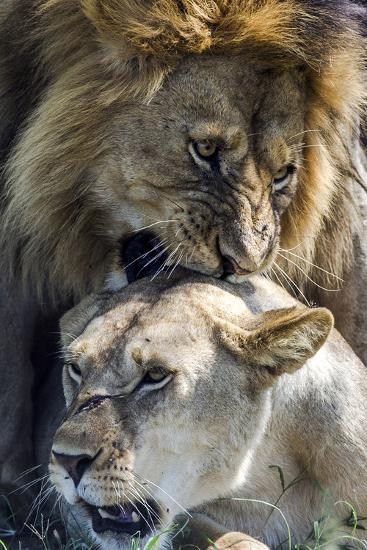 A Male African Lion Bites the Back of the Neck of a Lioness with His Canine Teeth During Mating-Jason Edwards-Photographic Print