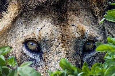 https://imgc.artprintimages.com/img/print/a-male-african-lion-hunting-beside-a-small-water-hole-on-a-vast-savannah-plain_u-l-pok8t20.jpg?p=0