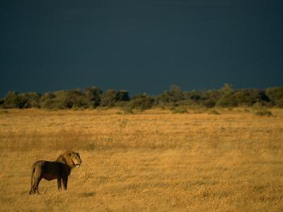 A Male African Lion Looks out over His Territory-Beverly Joubert-Photographic Print