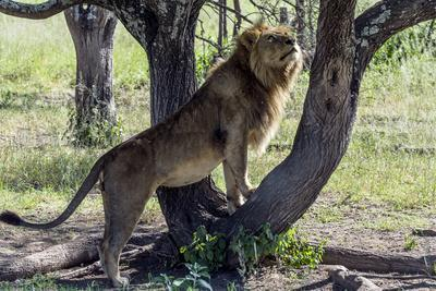 https://imgc.artprintimages.com/img/print/a-male-african-lion-watches-a-lioness-in-estrus-sleeping-in-a-tree_u-l-pol0il0.jpg?p=0