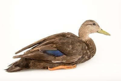 A Male American Black Duck, Anas Rubripes, at the Sylvan Heights Bird Park-Joel Sartore-Photographic Print
