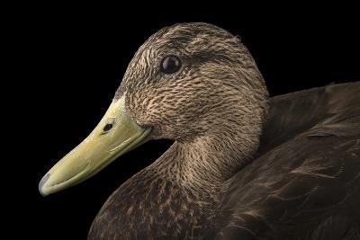 A Male American Black Duck, Anas Rubripes, at the Sylvan Heights Bird Park-Joel Sartore-Photographic Print