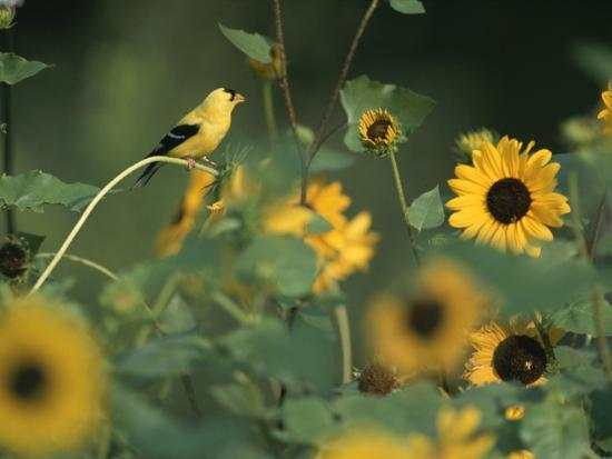 A Male American Goldfinch Sits on a Sunflower Eating Seeds-Taylor S^ Kennedy-Photographic Print