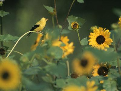 https://imgc.artprintimages.com/img/print/a-male-american-goldfinch-sits-on-a-sunflower-eating-seeds_u-l-p4uxxz0.jpg?p=0