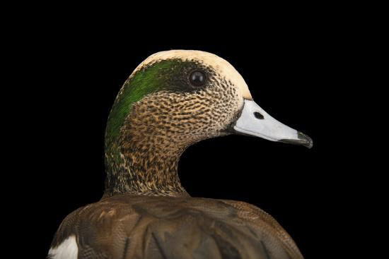 A Male American Wigeon, Anas Americana, at Sylvan Heights Bird Park-Joel Sartore-Photographic Print