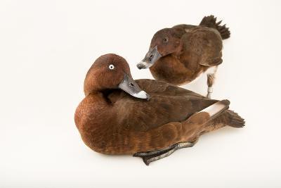 A Male and Female Hardhead Duck, Aythya Australis, at Sylvan Heights Bird Park-Joel Sartore-Photographic Print