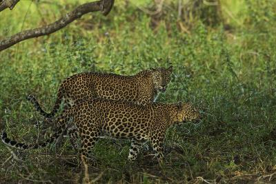 A Male and Female Leopard in Yala National Park-Steve Winter-Photographic Print