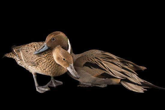 A Male and Female Northern Pintail Duck, Anas Acuta, at the Sylvan Heights Bird Park-Joel Sartore-Photographic Print