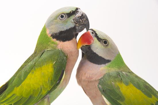 A Male and Female Red-Breasted Parakeet, Psittacula Alexandri, at Pandemonium Aviaries-Joel Sartore-Photographic Print
