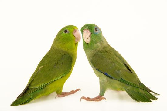 A male and female spectacled parrotlets, Forpus conspicillatus, at  Piscilago Zoo  Photographic Print by Joel Sartore | Art com