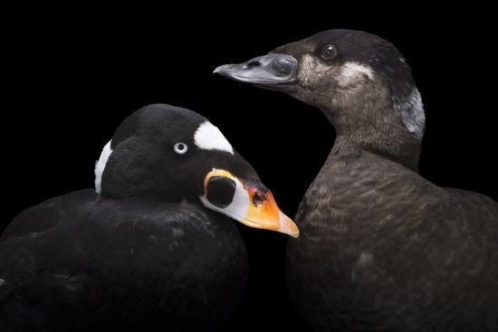A male and female surf scoter at Patuxent Wildlife Research Center.-Joel Sartore-Photographic Print