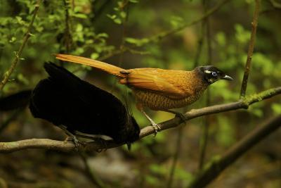 A Male and Female Wahne's Parotia On Perch Above Display Court-Tim Laman-Photographic Print