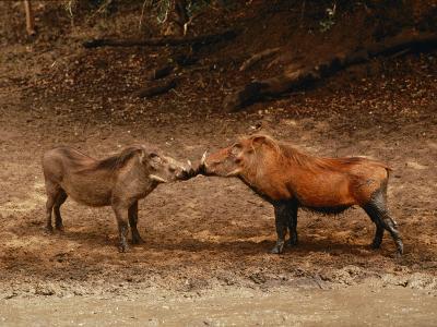 A Male and Female Warthog Rub Noses-Nicole Duplaix-Photographic Print