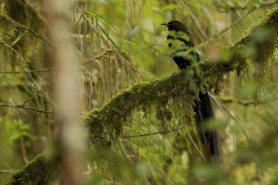 A Male Arfak Astrapia Bird of Paradise Perches On a Mossy Branch-Tim Laman-Photographic Print