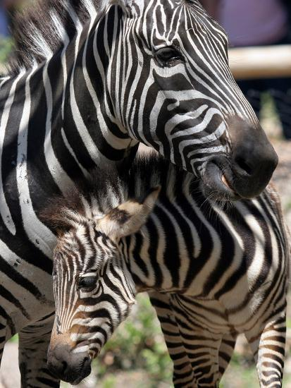 A Male Baby Zebra Named Roger--Photographic Print